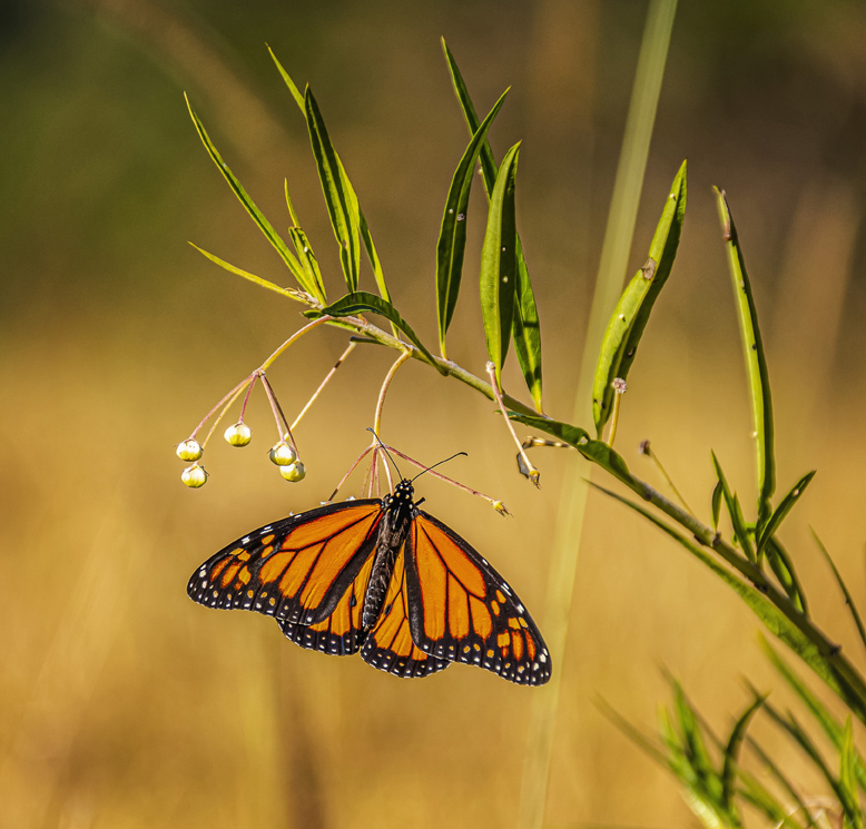 035 Butterfly hang time - Lisa Norrie
