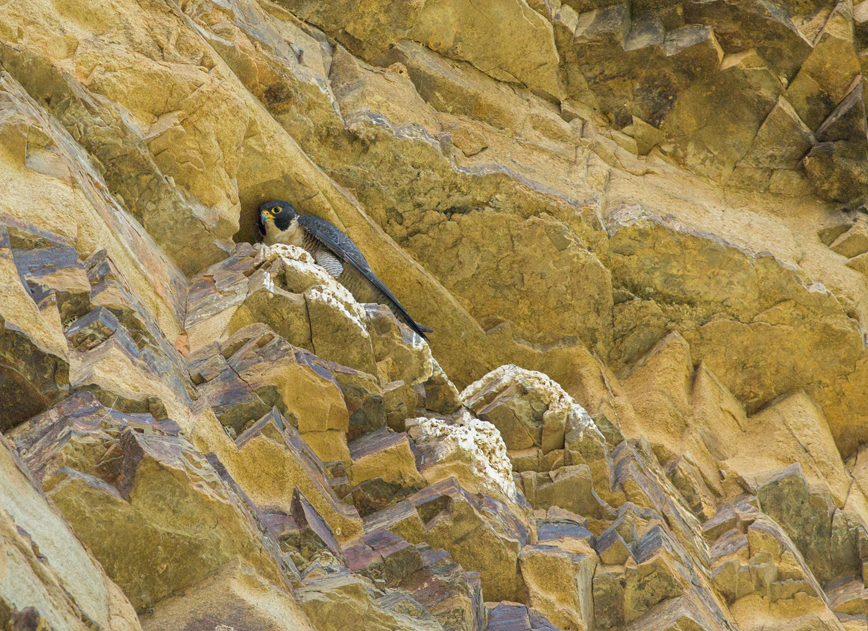 064 Please don't see me! Peregrine above the Allyn River. - Deb Murrell